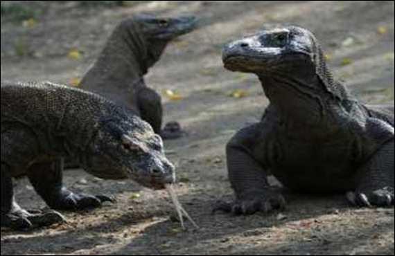 Indonesia – Seven rare Komodo dragons hatch